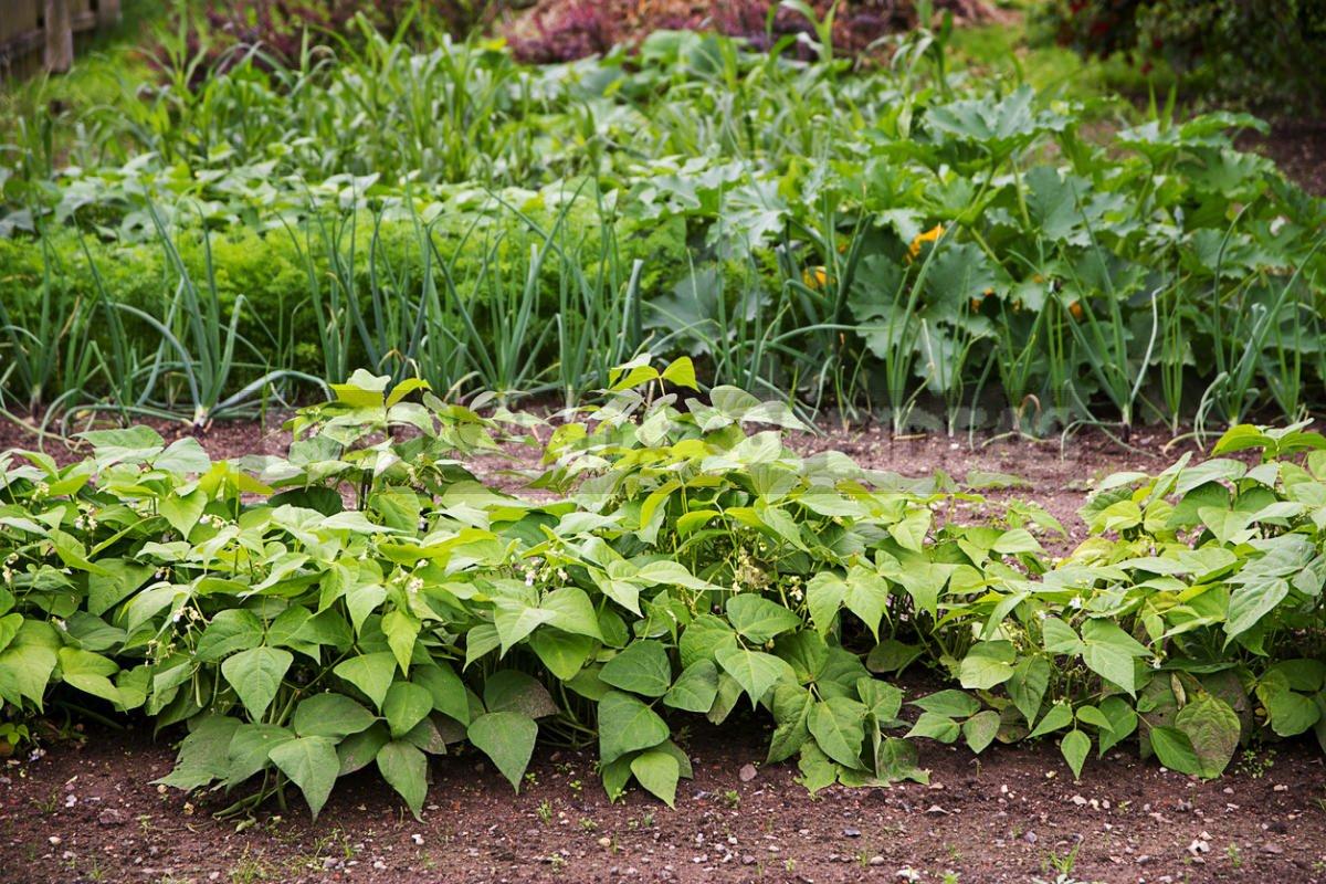 Growing Phaseolus: Planting, Care, Fertilizing and Harvesting