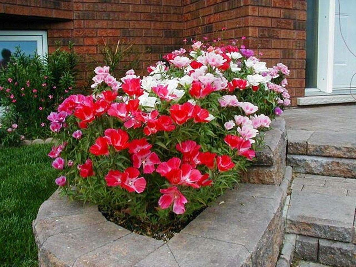 Clarkia Flower Of Passion Best Landscaping Ideas