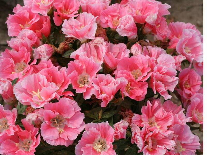 Clarkia - Flower of Passion