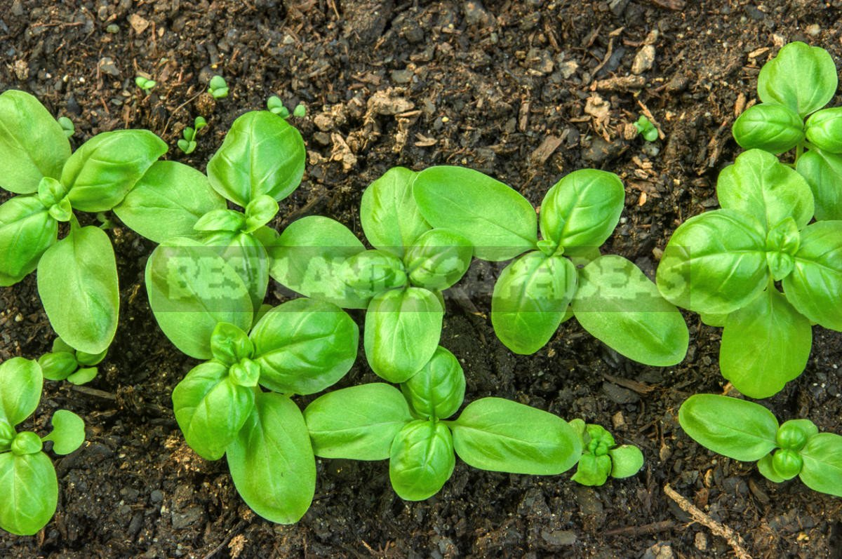 How To Plant And Care For Basil