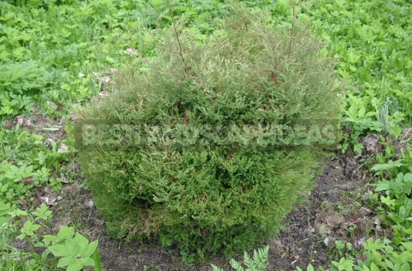 Varieties of Thuja Occidentalis: a Variety of Shapes and Sizes. Photo and Description.