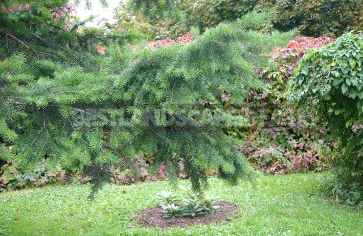 Who is deceived by tsuga 1 - The Douglas Fir: Photo, Description, Types
