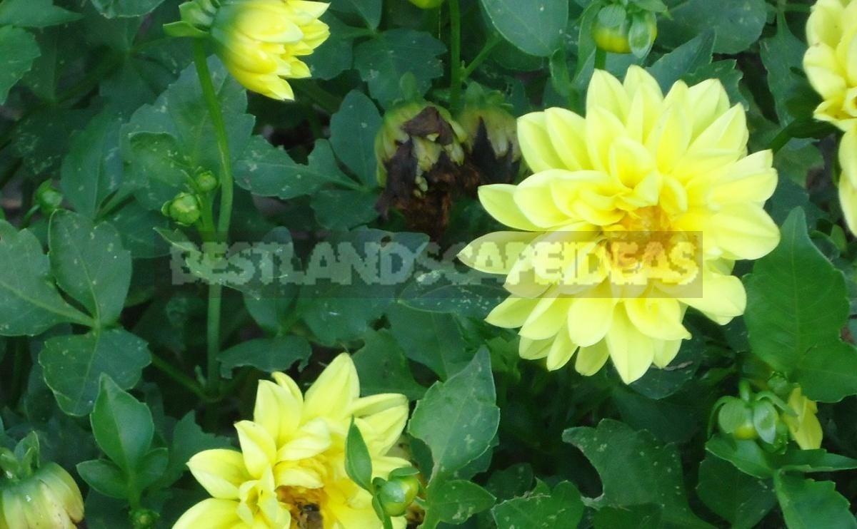 Dahlia – Autumn Decoration of the Flower Beds