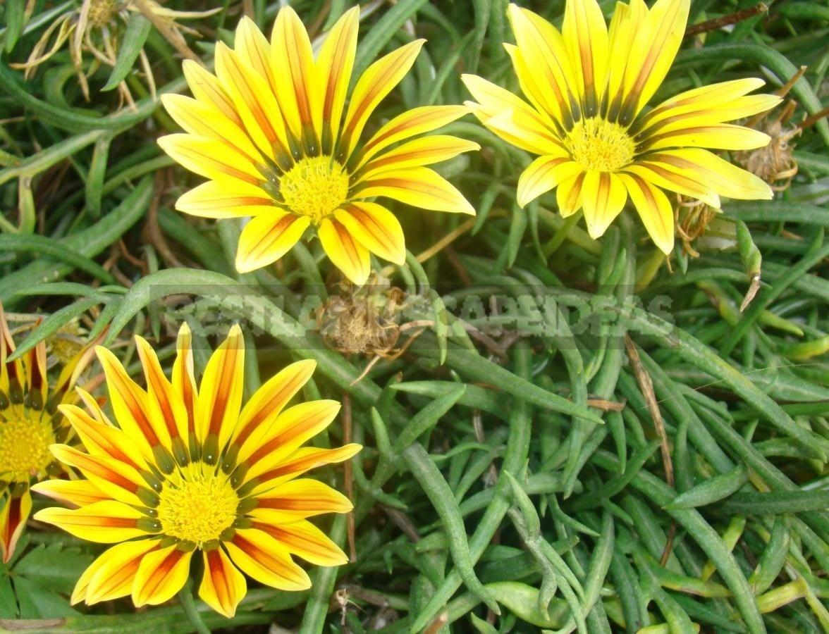 Long Flowering Gazania X Hybrida