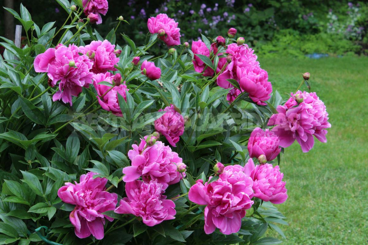 TOP 8 Popular Garden Flowers