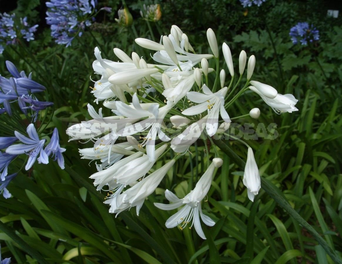 Agapanthus - Flower of Heavenly Purity