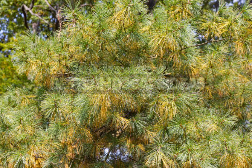 Coniferous diseases diagnosis and treatment of Schutte 1 - Coniferous Diseases: Diagnosis and Treatment of Schutte