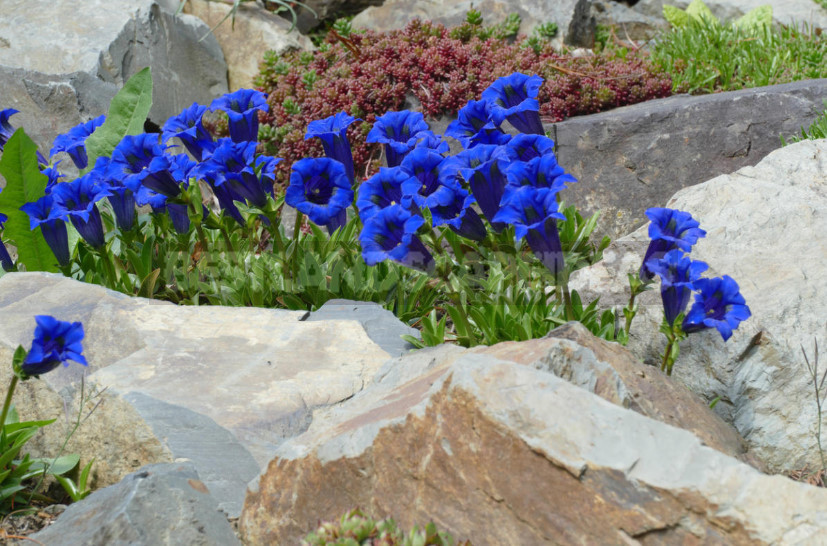 Grown gentian heavenly flowers mountain nature 1 - Gentian: Cultivation and Reproduction
