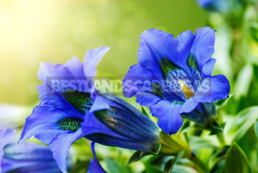 Gentian: Cultivation and Reproduction