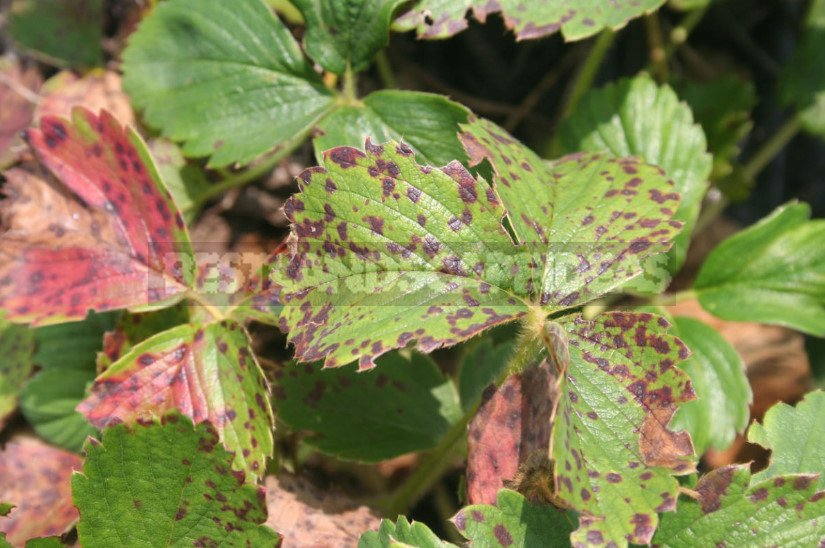 Strawberry garden how to recognize a hidden hunger 1 - How to Feed Strawberries Garden: Signs of Deficiency of Nutrients