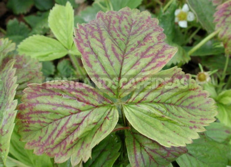 How to Feed Strawberries Garden: Signs of Deficiency of