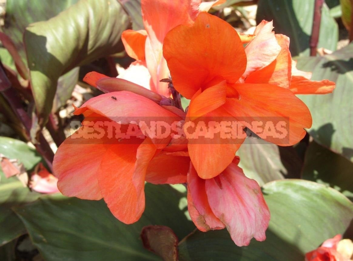 Varieties of Canna for Growing in Containers