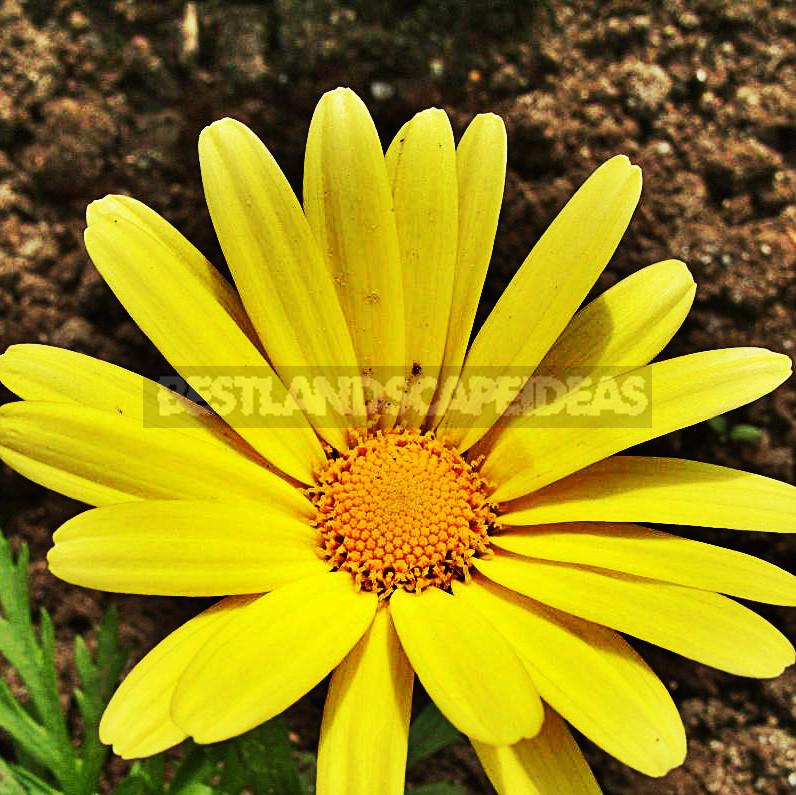Edible Chrysanthemums
