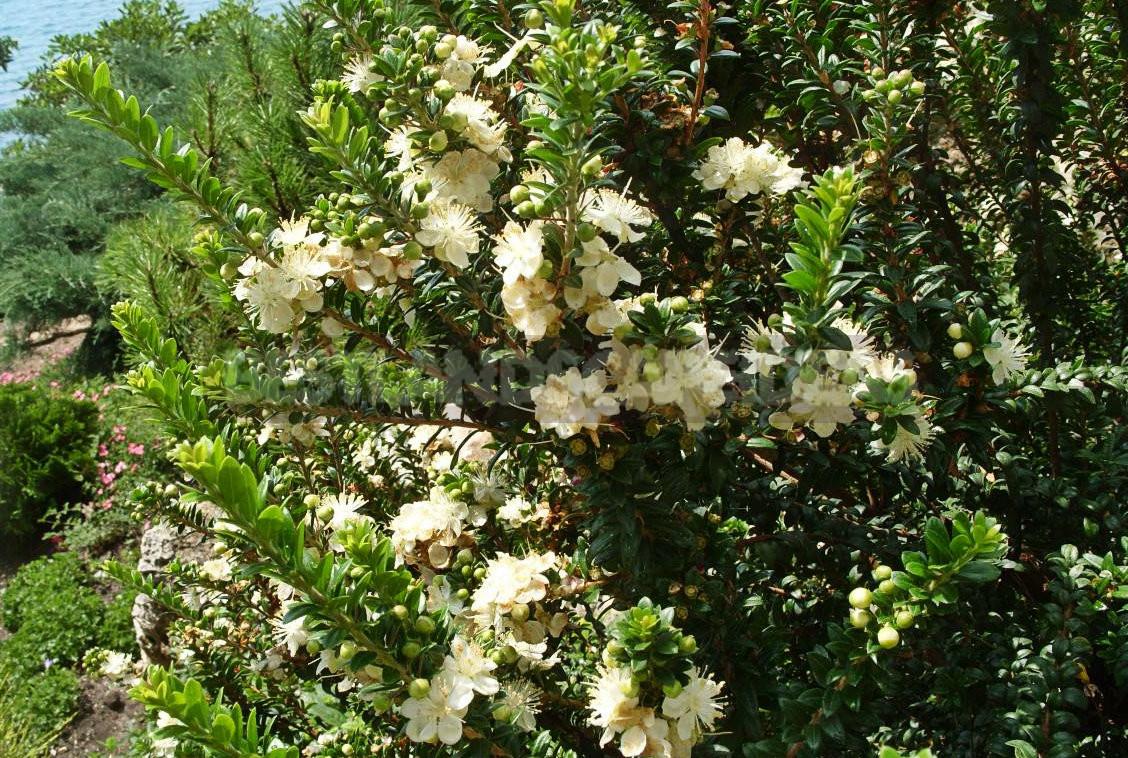Sacred and Healing Myrtus Communis