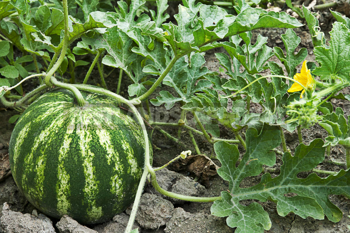 How To Plant And Care For Watermelon
