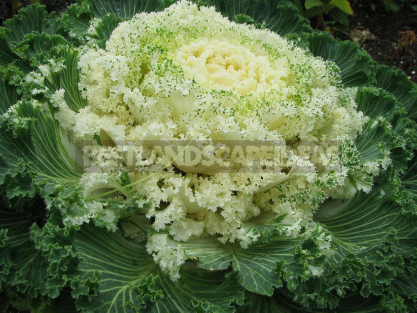 Decorative Cabbage: Planting and Care, Types and Varieties (Part 2)