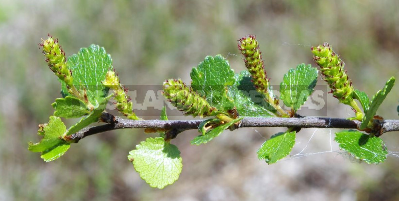 Betula Nаna: Planting, Care and Use in the Garden