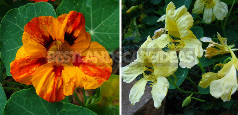 Edible Flowers for True Gourmets
