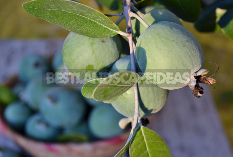 Feijoa - is it Possible to Grow up a Southern Tree