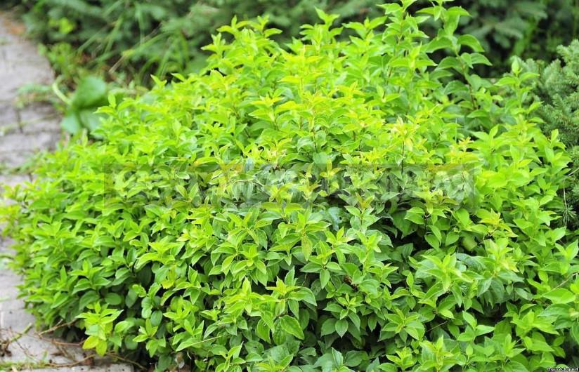 Mock Orange: Planting and Care (Part 1)