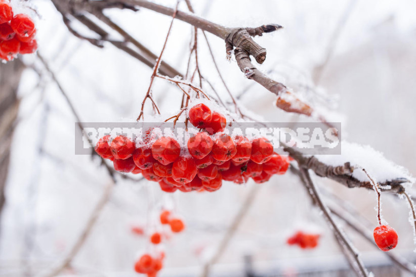 Sorbus: the Benefits and Harms, Storage and Application