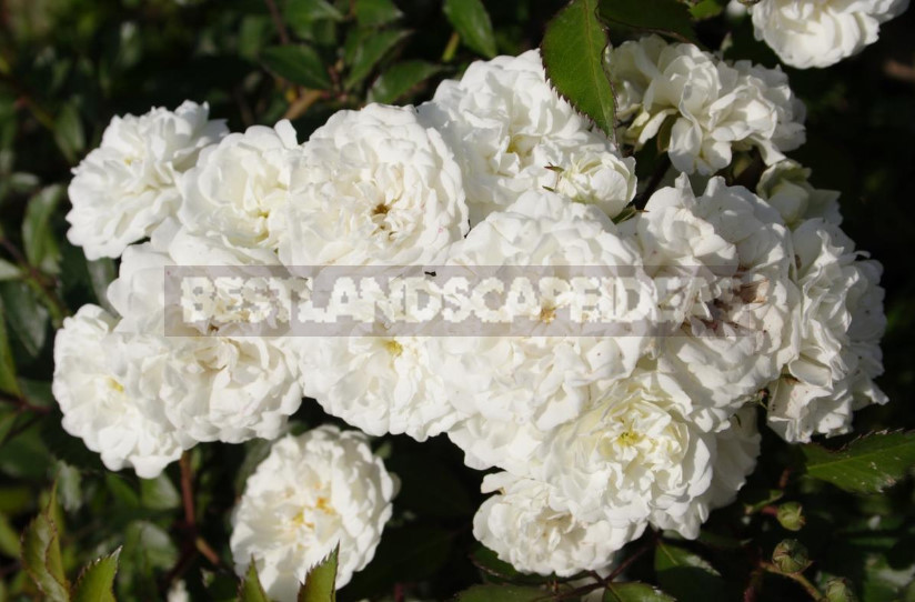 White Roses: Choose Reliable Varieties