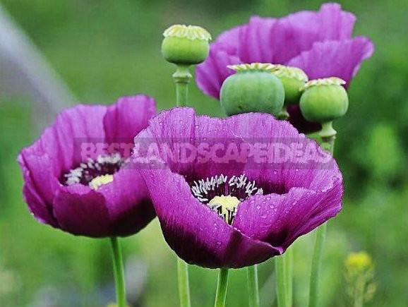 How To Plant And Care For Poppy