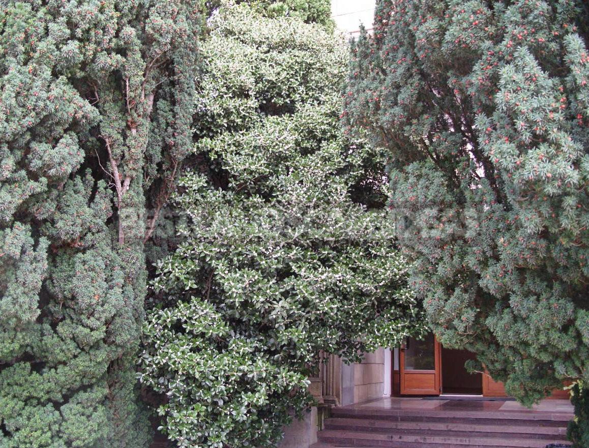 Fragrant Osmanthus - Garden Decoration