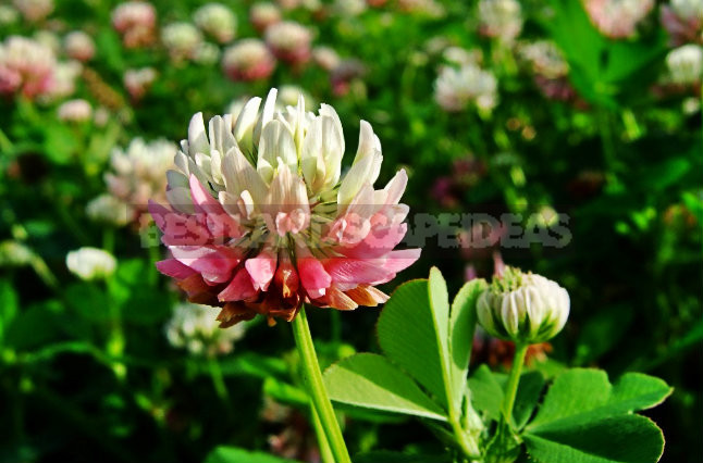How To Plant And Care For Clover