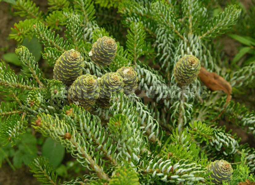 Fir and Douglas fir not to be confused with Christmas trees 1 - Abies and Pseudotsuga: Not To Be Confused With Christmas Trees!