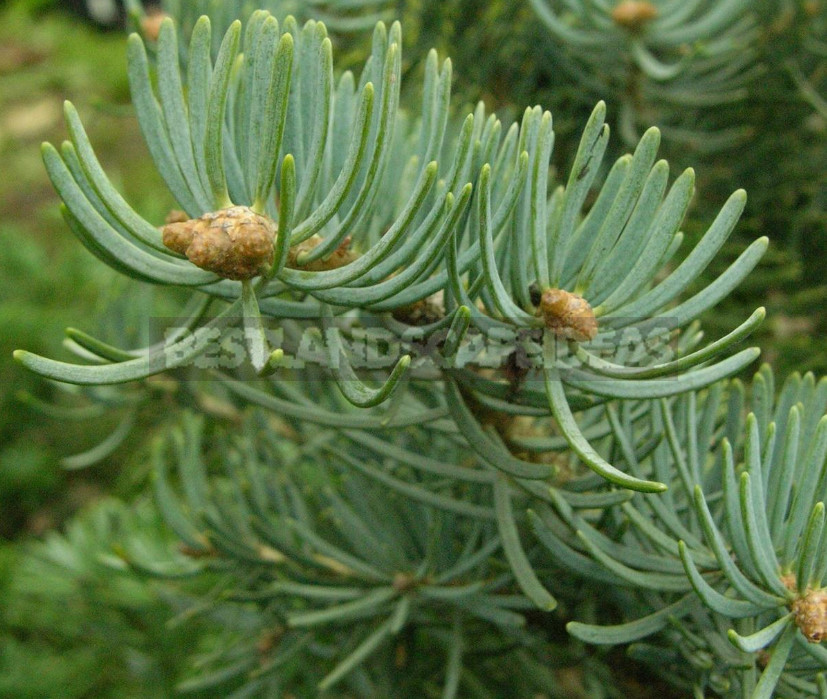 Abies and Pseudotsuga: Not To Be Confused With Christmas Trees!