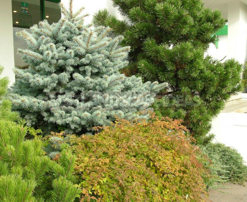 Meet blue spruce 1 - Blue Spruce: Species and Varieties