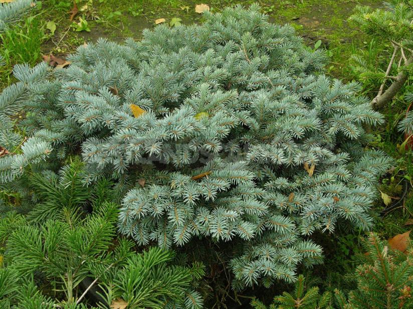 Blue Spruce: Species and Varieties