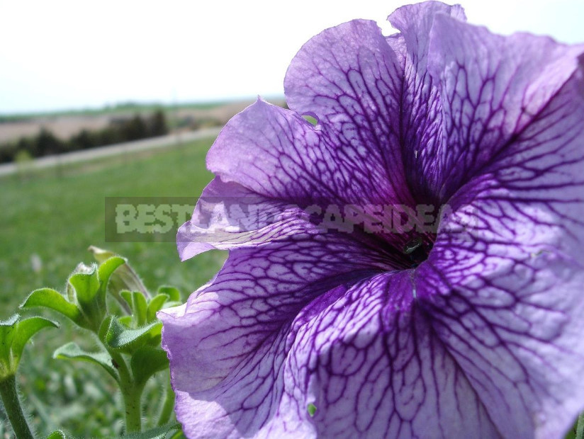 Petunias: Classification of Varieties and Hybrids