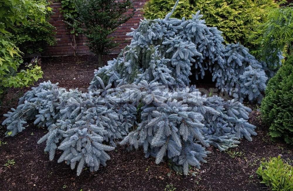 10 Best Blue Spruce: Species and Varieties