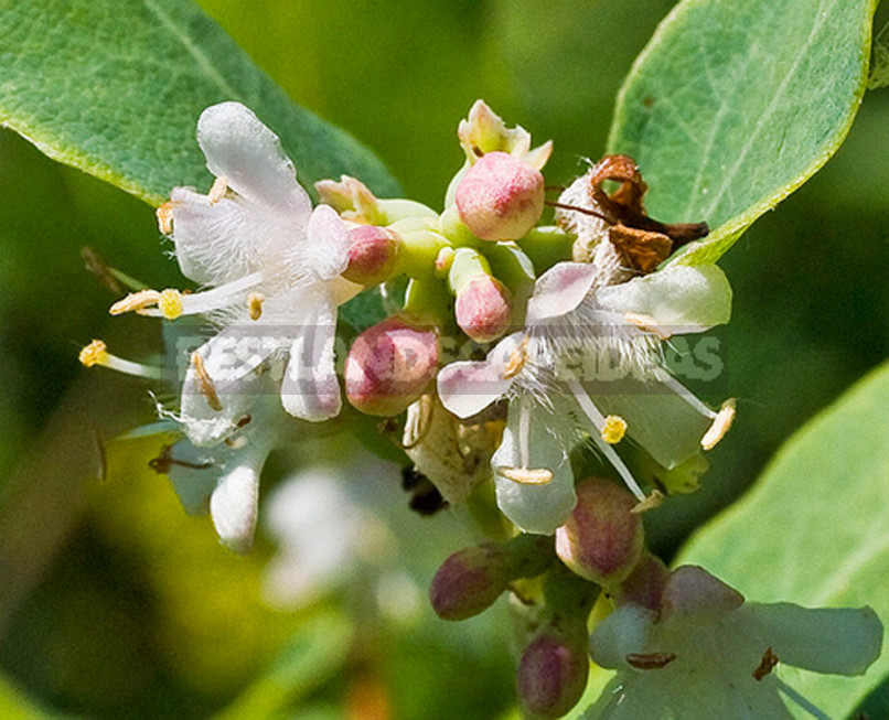 The Snowberry is a Shrub With a Sweet Temper (Part 2)