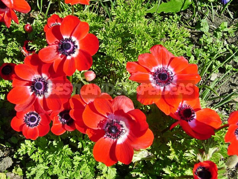 1 1 - Care for Anemone Coronaria