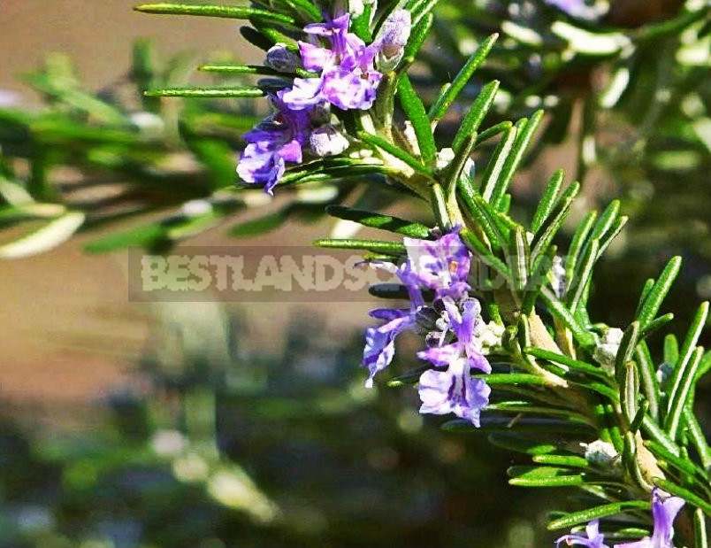 1 21 - Growing Rosemary in the Open Ground