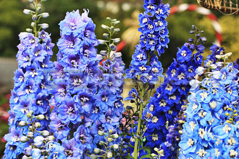 1 25 - How To Plant And Care For Delphinium