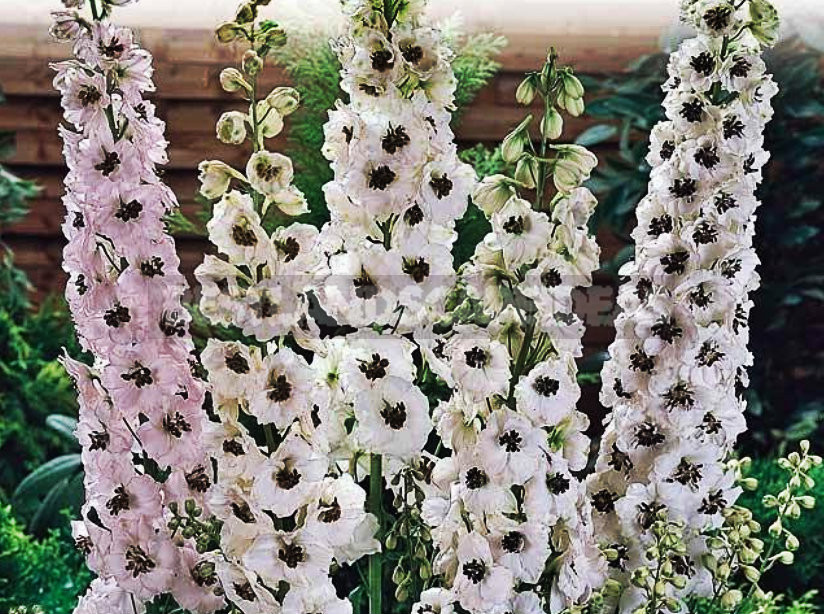 How To Plant And Care For Delphinium