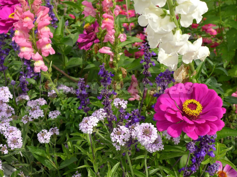 Do we need annuals in the garden 1 - Annuals in the Garden: Species and Varieties of Annual Flowers (Part 2)