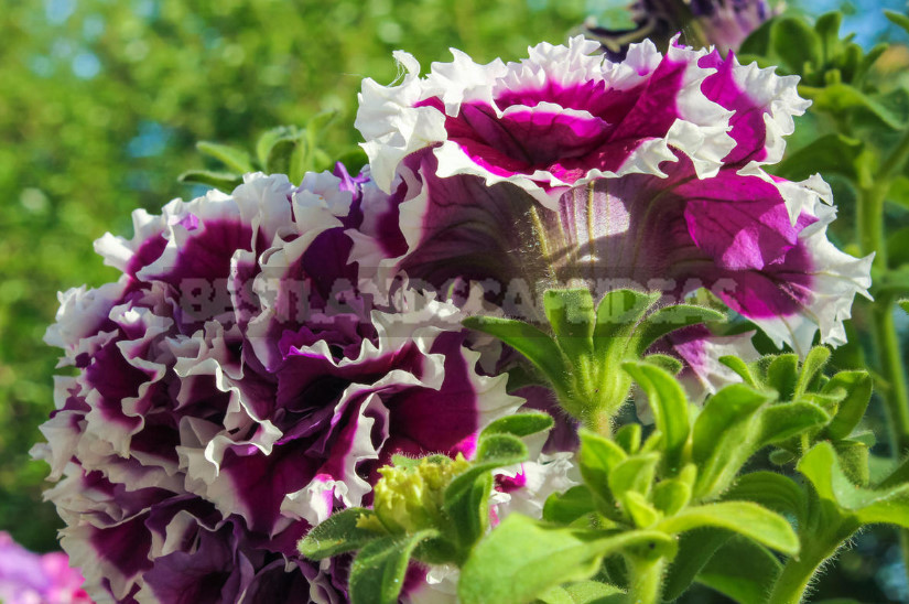 How to Choose Petunia Seeds