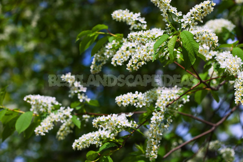 Such different bird cherry features of cultivation 1 - Types of Prunus Padus: Description, Features of Cultivation