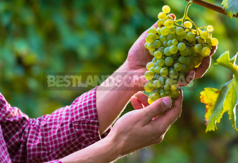 The grapes for the Northern regions 1 - Grapes for the Northern Regions: Varieties and Planting Features