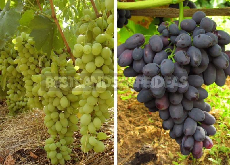 Grapes for the Northern Regions: Varieties and Planting Features