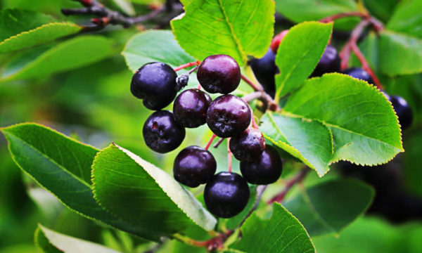 1 13 600x360 - How To Plant And Care For Aronia Melanocarpa