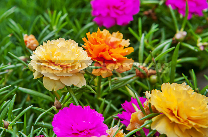 1 3 - How To Plant And Care For Portulaca