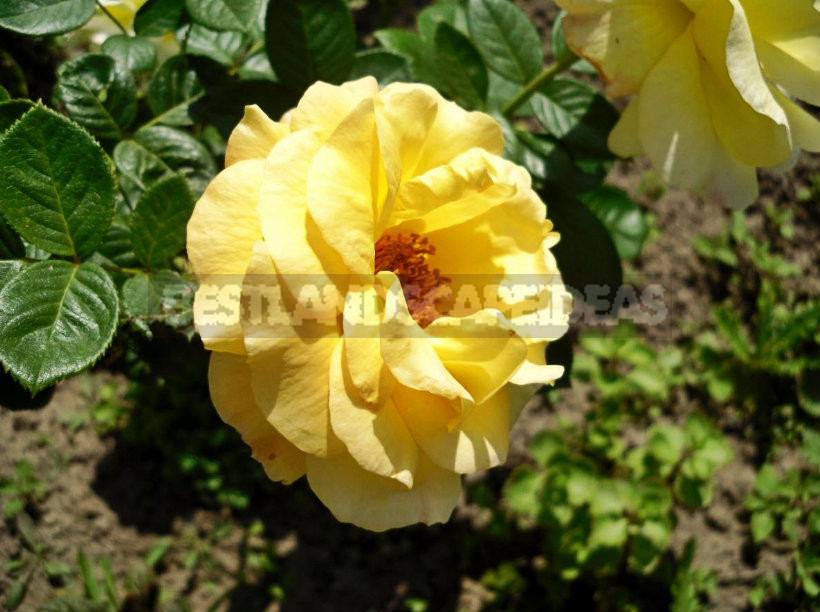 1 4 - Funny Story, of Transplanting Roses