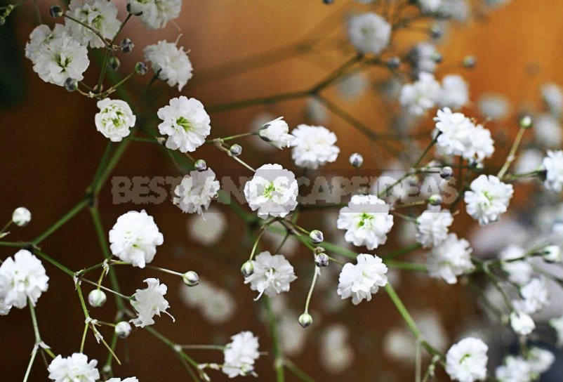 1 6 - How To Plant And Care For Gypsophila