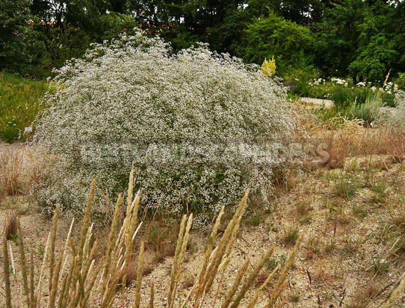 How To Plant And Care For Gypsophila